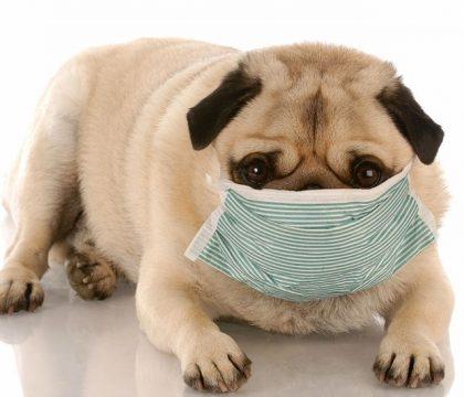 Coronavírus em cão